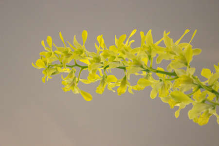 Beautiful Yellow  orchid flower in full bloom. photo