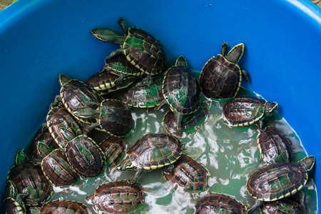 Black baby turtles in the blue bin.