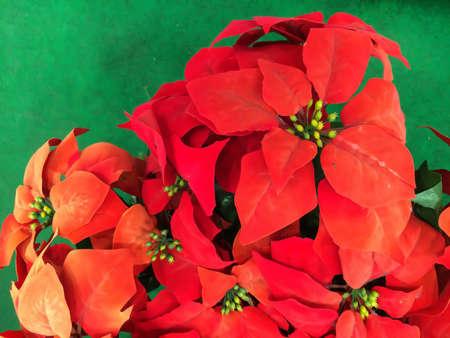 pulcherrima: Red poinsettia fiore (Euphorbia pulcherrima), aka Stella di Natale, primo piano
