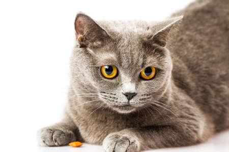briton: Briton cat on white background Stock Photo