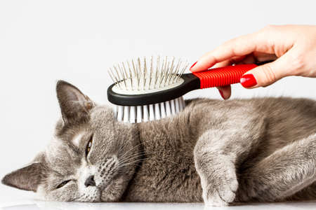 pet grooming: woman combing British cat on white background