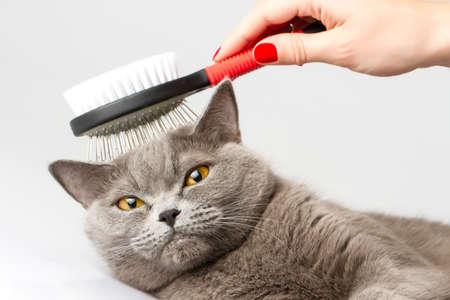 woman combing British cat  Stock Photo