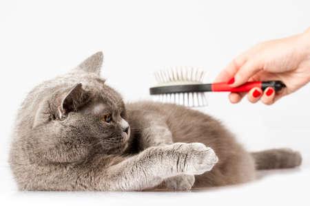 woman combing British cat