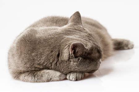 briton: Briton cat
