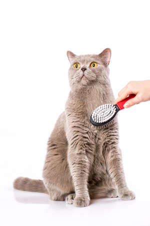 woman combing British cat on white background photo