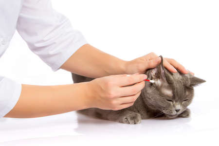 The doctor cleans the ears of a cat on a white background Stock Photo