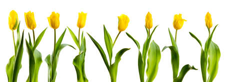 Un grand nombre de tulipes jaunes disposées verticalement sur un fond blanc Banque d'images - 38704843