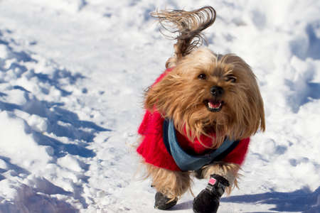 Yorkshire terrier winter running in the snow Stock Photo