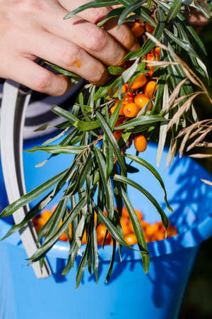 blue bin: Girl collects buckthorn berries, close-up, puts it in the blue bin