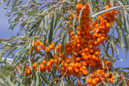 Branch with berries of sea buckthorn and green leaves on a background of grass and sky