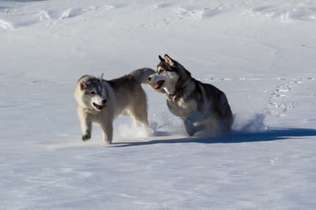 wolf couple: Siberian Husky in the snow in the winter