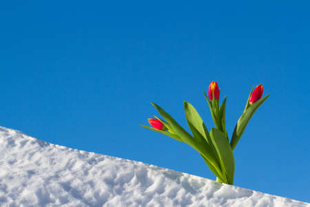 tulip: Tulips on a bright sunny day on the snow