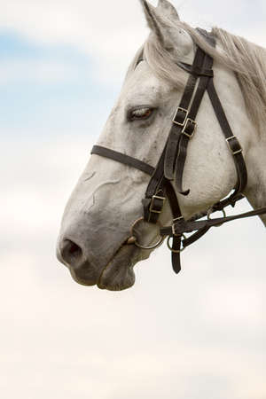 thoroughbred: White thoroughbred horse, horse head, against the sky