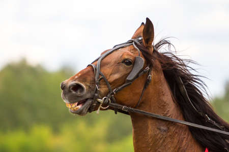 thoroughbred: brown thoroughbred horse, horse head, against the sky Stock Photo