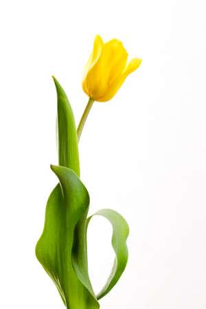 tulip: żółty tulipan na białym tle w szeregu