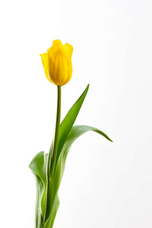 yellow tulip on a white background in a number of