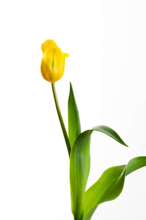 tulip: yellow tulip on a white background in a number of