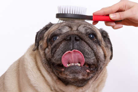 combed: the vet combed wool dog pug Stock Photo