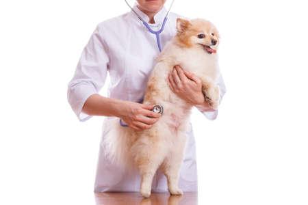 the vet holds the dog breeds Spitz on the neck stethoscope, white background