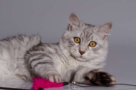 Young tabby cat isolated on grey background