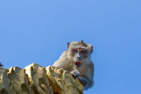 Monkey shows his fangs. Thailand Asia.