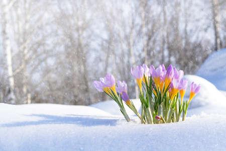 Purple crocuses growing through the snow in early spring Foto de archivo