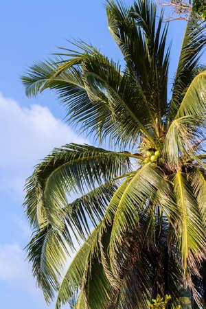coconut palm tree on blue sky. Thailand
