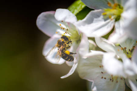 The bee sits on a flower of a bush blossoming apple-tree and pollinates him.