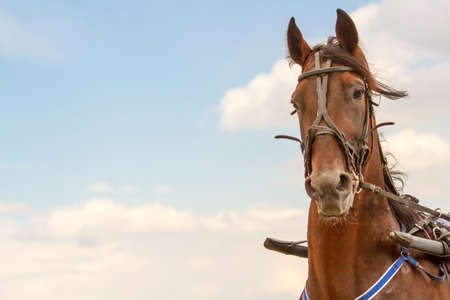 Hippodrome brown head horse in harness on the sky background