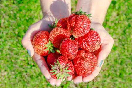 fresh strawberries in human hand on green grass background. Stock Photo