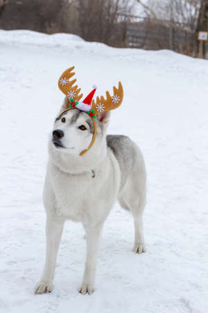 Thoroughbred dogs husky in the winter on white snow with horns on his head. New year, Christmas