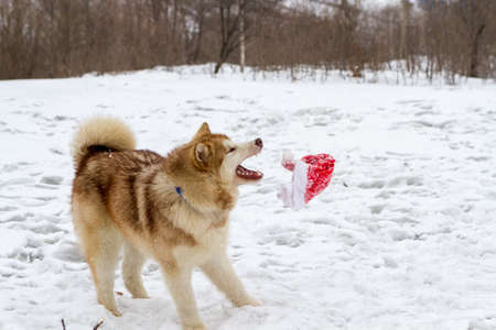 Pedigree dog Malamute in the winter on the white snow Stock Photo