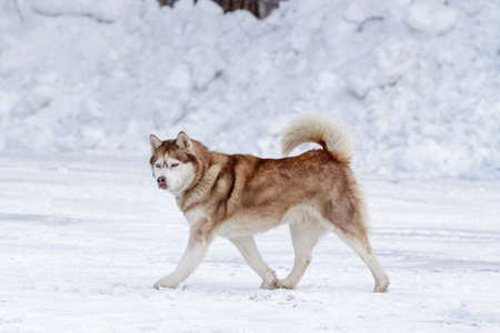 Thoroughbred husky dog in winter on white snow. Stock Photo