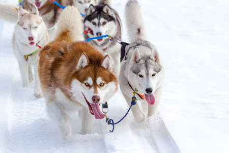 A group of husky dogs in a sled in winter.