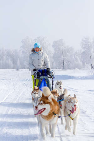 Woman musher hiding behind sleigh at sled dog race on snow in winter. Stock Photo