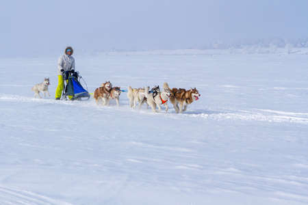 Woman musher hiding behind sleigh at sled dog race on snow in winter. 免版税图像