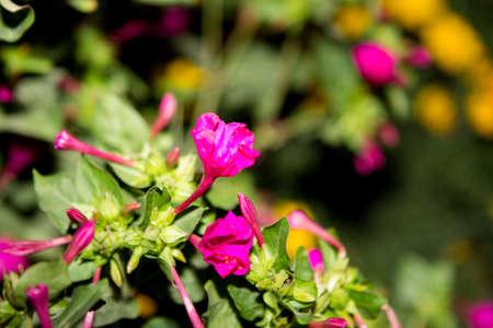 mirabilis jalapa in summer garden. Stock Photo