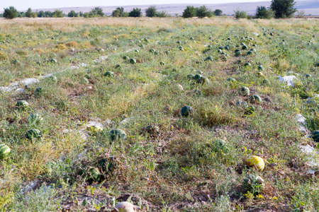 Melon and watermelon grow in the open field, sweet fruit.