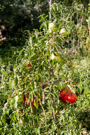 A large red tomato Matures in the garden on a bed.
