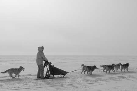 Woman musher hiding behind sleigh at sled dog race on snow in winter. 写真素材