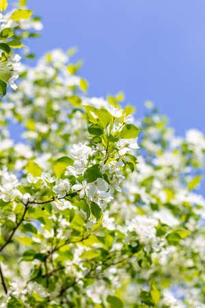 Kwiaty jabłoni w słoneczny wiosenny dzień.