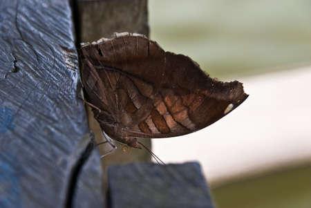stinky: Stinky Leafwing - Historis Odius Butterfly Stock Photo