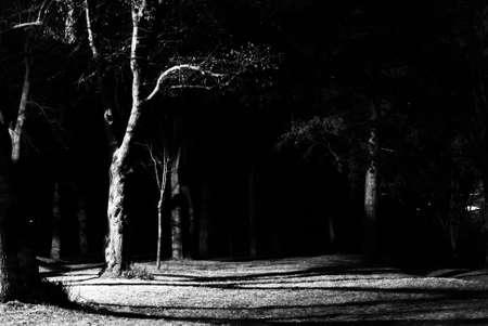 arboles blanco y negro: �rboles blancos negros Foto de archivo