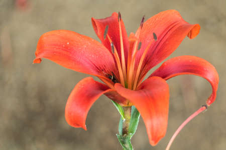close up ,lily flower. Stock Photo