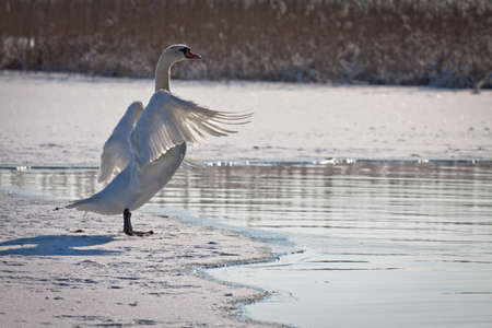 Swan flutters its wings