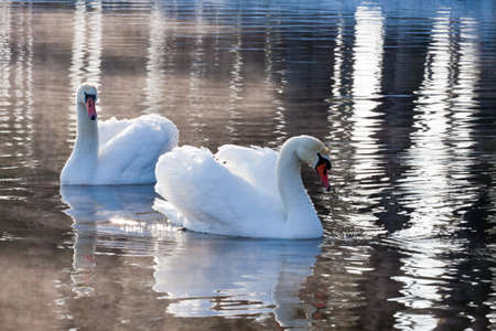 Close-up of two swans