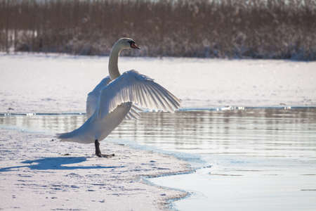 Swan stretching its wings