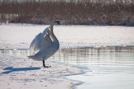 Single swan on frozen lake