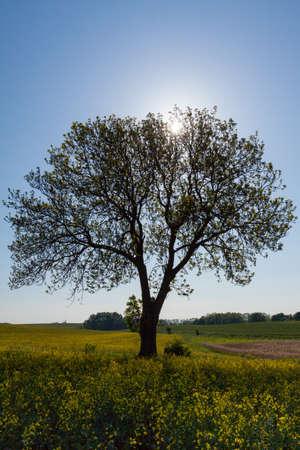 Single tree in rape field