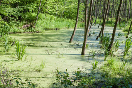 Swamp in a forest